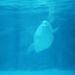 Marineland Beluga Whale