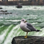 Picture of Seagal at Niagara Falls