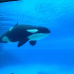 Killer Whale at Marineland