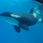 Killer Whale Marineland