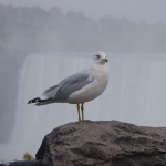 Bird Shot with Niagara Falls in the Background