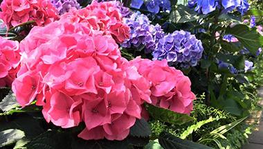 Niagara-Parks Hydrangea Floral Showhouse Display
