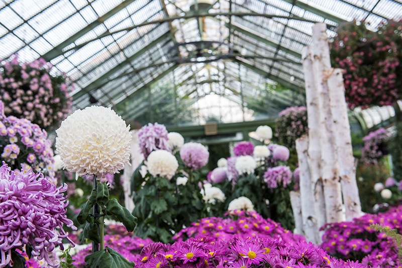Annual Chrysanthemum Show at the Floral Showhouse