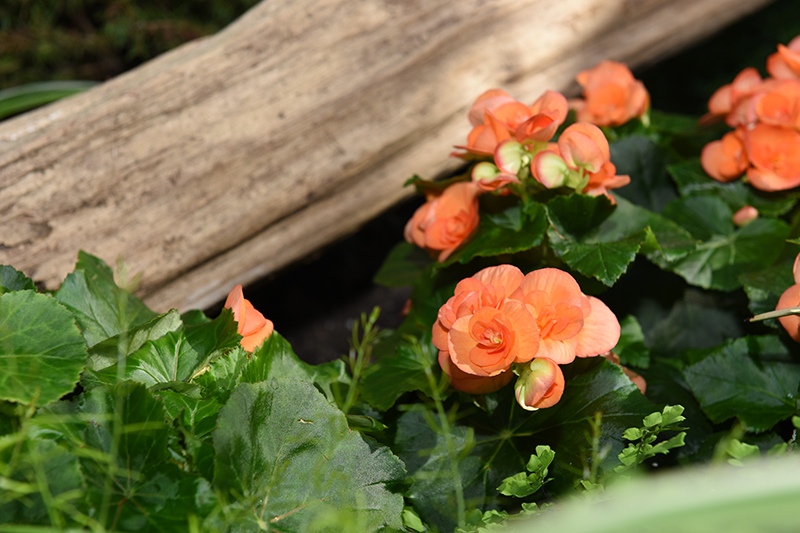 Begonias Floral Showhouse